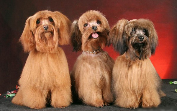 Новые породы маленьких собачек - Клуб любителей маленьких собак