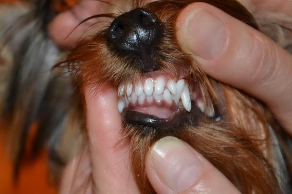 Если молочные зубы не выпадают у йорков