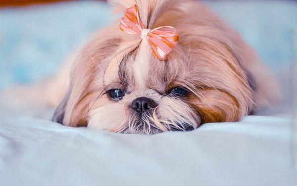 Ши Тцу - Клуб любителей маленьких собак