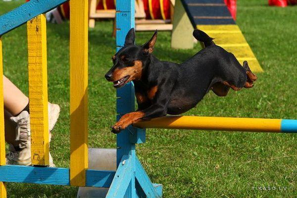 Цвергпинчеры - Клуб любителей маленьких собак