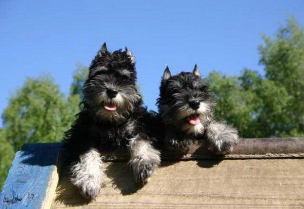 Самая маленькая служебная порода собак - цвергшнауцер - Клуб любителей маленьких собак