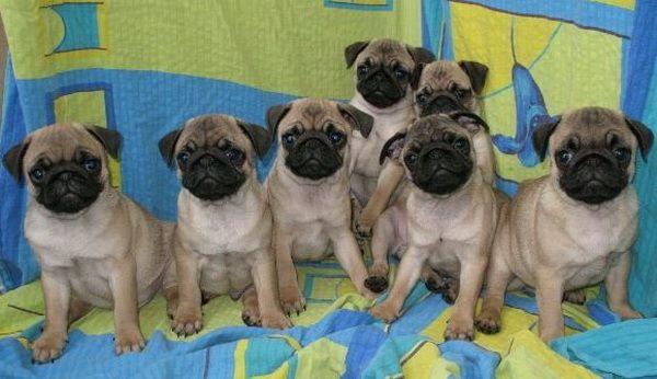 Разведение - Клуб любителей маленьких собак