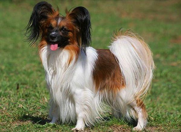 Папильоны - Клуб любителей маленьких собак