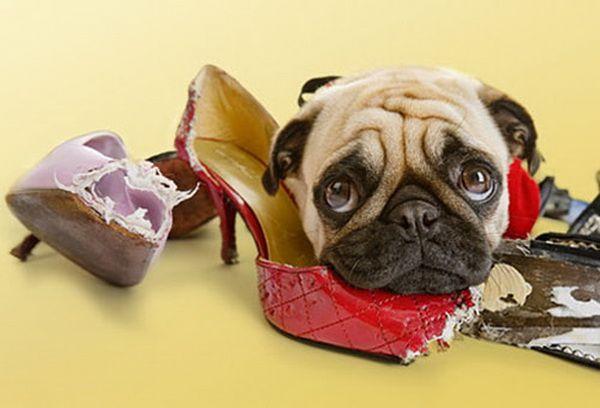 Комфортное содержание собаки в квартире - Клуб любителей маленьких собак