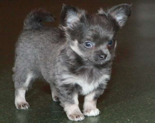 Лиловый и голубой чихуахуа - Клуб любителей маленьких собак
