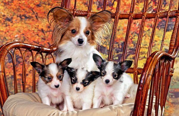 О маленьких собаках