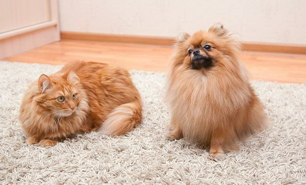 Маленькая собака vs Кошка