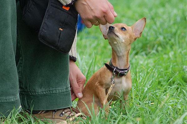 Почему собака не слушается? Клуб любителей маленьких собак