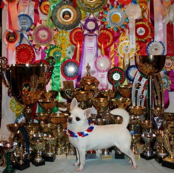 Сколько стоит чихуахуа в России? Клуб любителей маленьких собак