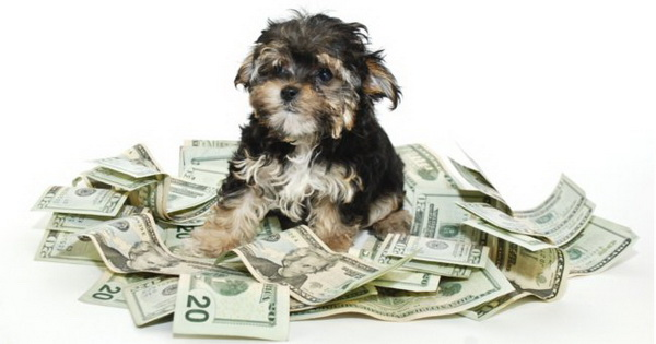 Сколько стоит щенок? Цена и реальные затраты заводчика - Клуб любителей маленьких собак