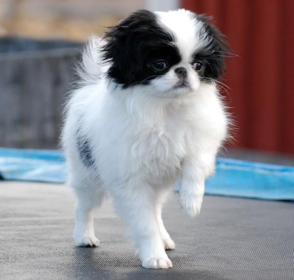 Травмы у маленьких собак: виды и первая помощь - Клуб любителей маленьких собак