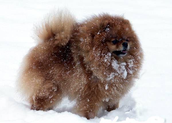 Уход за шерстью собаки зимой - Клуб любителей маленьких собак