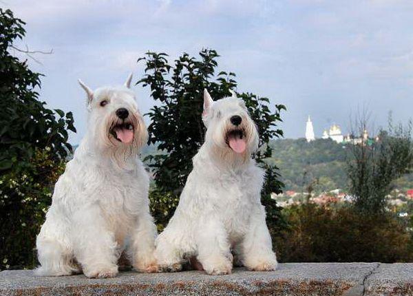 Цвергшнауцеры - Клуб любителей маленьких собак